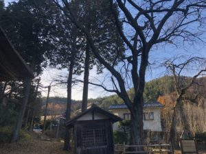 木曽義仲が植えたとされる桜の木