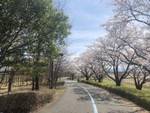 陸橋付近の桜