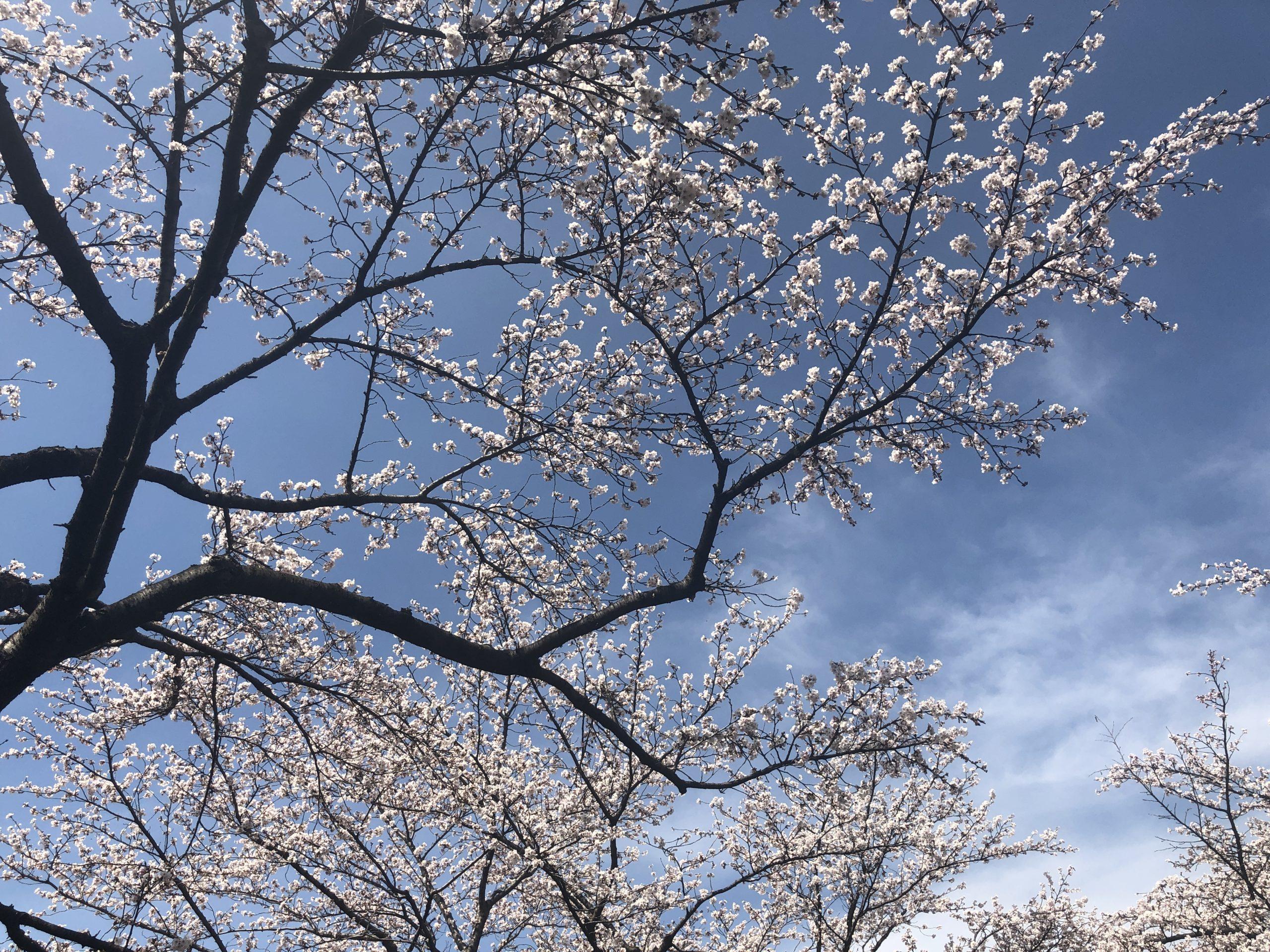 信州スカイパークの桜2019