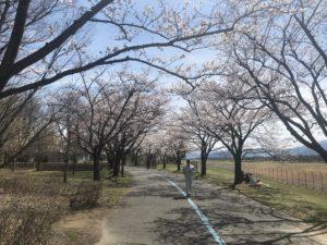 満開になると桜のトンネルが完成するエリア