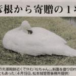 松本城お堀の白鳥「松ちゃん」